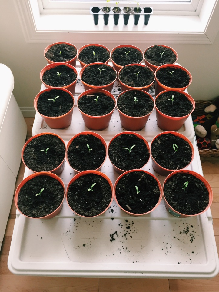 Tomatoes potted
